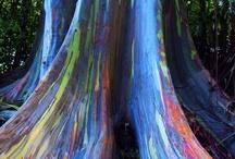 Eucalyptus Degluta