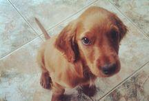 Theo / #Puppy #Irish #Setter #Dog #Mignon #Cute