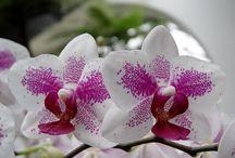 Orchids / by Ognyan Tortorochev