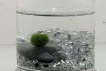 Marimo by Greenovia Crafts / Your next pet plant perhaps? Marimo moss balls are fuzzy, aquatic balls of a very special kind of algae found only in a handful of lakes around the world. They grow slowly and may live for 100+ years, and so are given as gifts of luck and love.