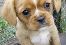 King Charles spaniel crossed with a pug