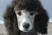 OOdLes of pOOdLes / Sweet Poodles / by Susan Whalley
