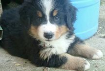 Bernese moutain pup/dog