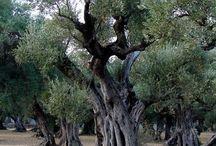 Olivenbäume &.....