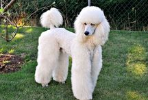 Oodles of Poodles / by Laura Smith