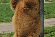 Grizzly/Brown bear