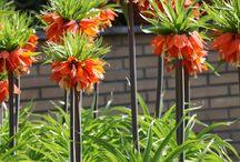 Dutchplant