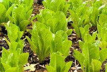 Lettuce-all