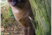 Siamese Cats / Chey is My Siamese and writes for that so I thought I should have a board for just Siamese