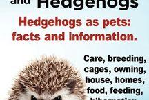Pet hedgehogs