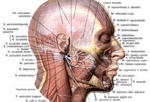 Head Muscle