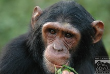 Gorilla, Wildlife and Chimp Safaris in Uganda / by Volcanoes Safaris