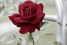 flors / felicitats jose