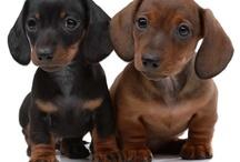 Lieve puppies