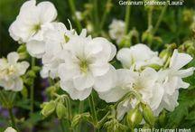 White Flowering Plants / White Flowering Plants Suitable for UK Gardens
