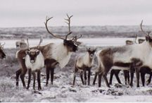 Pictures of Caribou