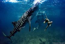 Be More Shark / Sharks and Amphitrite/mermaids