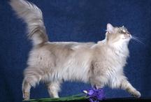 Chantilly tiffany / Cat