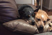 Blue & red cattle dogs / Australian cattle dogs