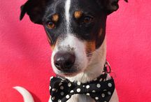 Dogs in Bow Ties / Posh poochies in their snazzy bow ties.