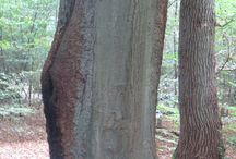 Boomafwijkingen / Diverse al dan niet gevaarlijke afwijkingen bij bomen