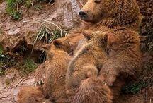 Bears beautifoul