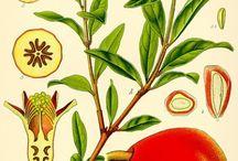 Granateple Pomegranate