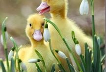 Tavuk ve Ördek Resimleri
