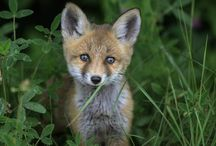 Foxes! / Because foxes are the best!