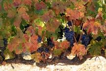 Viñedos / Vineyards