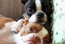 Boston Terriers are awesome! / by Leecey Bachman