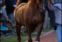 Outstanding Arabians - not mine, but wish! / by Debbie Whelan
