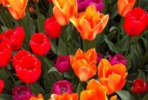 Tiptoe through the Tulips / Gill Family