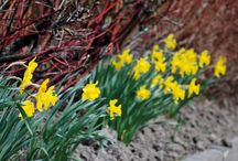 Äntligen vår! / Från vårens första tecken när vita snödroppar, lysande gula vintergäck eller färgglada krokusar kikar fram under snötäcket till en kruka med penséer på farstun och tulpanernas ankomst i rabatten.