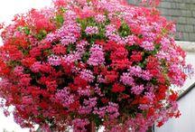 balkonové květiny