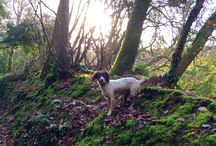 Little Amber / My English Springer Spaniel
