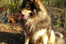 MY DOGS / Finnish lapphund and (oversize) Phalene