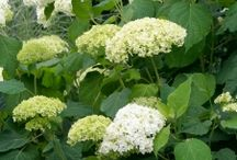 Popular Michigan Shrubs / Common and popular shrubs for Michigan landscapes.