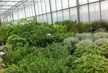 Die Gärtnerei / Unsere Mutterpflanzenhaltung und Bilder der Gärtnerei