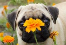PUGS = love & happiness