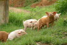 Happy schweine