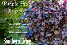 Plant Spotlight: Purple Pixie Loropetalum / by Southern Living Plant Collection