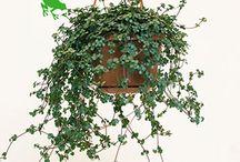 Dee-planten