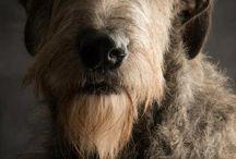 Irishwolfhound ❤