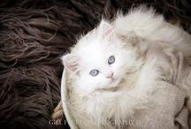 Ragdoll Kittens by Gillflett.com