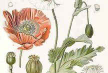 rysunki botaniczne