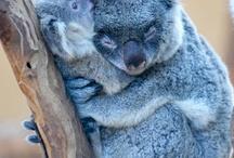 Kuala  / Animal that kuala