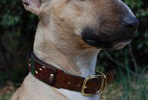 Bull terrier / I want One..