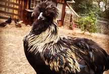 Extraordinary Chickens / Chickens wander Mosshollow Hill. Many of them are extraordinary in appearance and temperament. Enjoy!