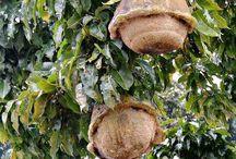 brazilský ořech